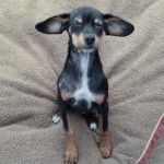 Viola - Miniature Pinscher [Mix]