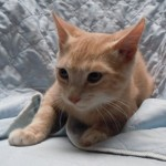 Ahsan - Domestic Short Hair