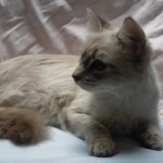 Ruby - Domestic Long Hair / Siamese [Mix]