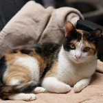 Ms Kitty - Calico
