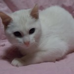 Snowball - Domestic Short Hair