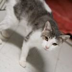 Elvira - Domestic Short Hair