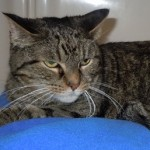 Taffy - Domestic Short Hair / Tabby