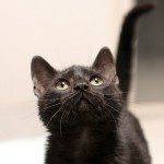 Electra - Domestic Short Hair
