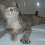 Libby - Domestic Short Hair / Tortoiseshell