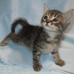 Isabel - Domestic Medium Hair / Tabby