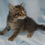 Imelda - Domestic Short Hair / Tabby
