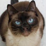 Ezekiel - Domestic Short Hair / Siamese