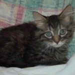 Kingston - Domestic Long Hair / Tabby