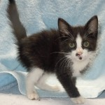Georgette - Domestic Short Hair