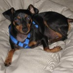 Skipper - Miniature Pinscher