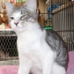 Charity - Domestic Short Hair