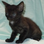 Keisha - Domestic Short Hair / Domestic Short Hair