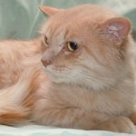 Hector - Domestic Medium Hair