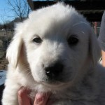 Grizzly - Labrador Retriever / Great Pyrenees [Mix]