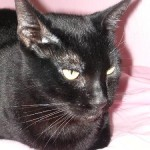 Courtney - Domestic Short Hair