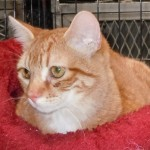 Julius - Domestic Short Hair / Tabby