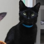 Alfie - Domestic Short Hair