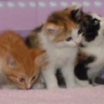 E Babies - Domestic Short Hair