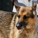 Jake - German Shepherd Dog