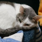 Katie - Domestic Short Hair