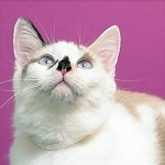 Patches - Domestic Long Hair / Siamese [Mix]