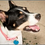 Lexi - Jack Russell Terrier [Mix]