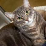 Sammy - Domestic Short Hair