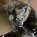 Valerie - Domestic Short Hair