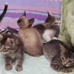C Babies - Domestic Short Hair