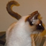 Zillie - Siamese / Domestic Short Hair