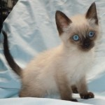 A Babies - Domestic Medium Hair / Ragdoll [Mix]
