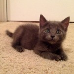 Bobbie - Domestic Short Hair