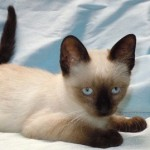 Kent - Siamese / Domestic Short Hair