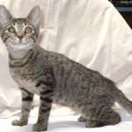 Candi - Domestic Short Hair