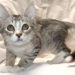 Chase - Domestic Short Hair