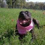 Mabel - American Staffordshire Terrier [Mix]