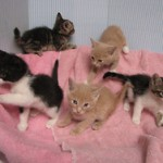 R Babies - Domestic Short Hair