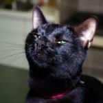 Pandora - Domestic Short Hair