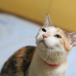 Sunflower - Calico / Domestic Short Hair