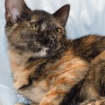 Elizabeth - Domestic Short Hair