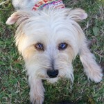 Derek - Yorkshire Terrier Yorkie [Mix]
