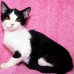 Lanie - Domestic Short Hair
