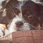 Huey - Shih Tzu / Terrier [Mix]