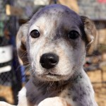 Ellie - Cattle Dog [Mix]