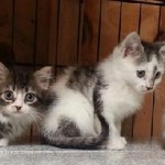 A Bunch Of Kittens - Domestic Short Hair