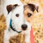 Wishbone - Parson Russell Terrier
