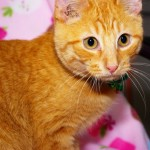 Donder - Domestic Short Hair