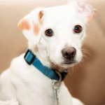 Nick - Jack Russell Terrier [Mix]