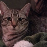 Daisy - Domestic Short Hair / Tabby